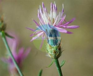 Centaurea prespana Rech