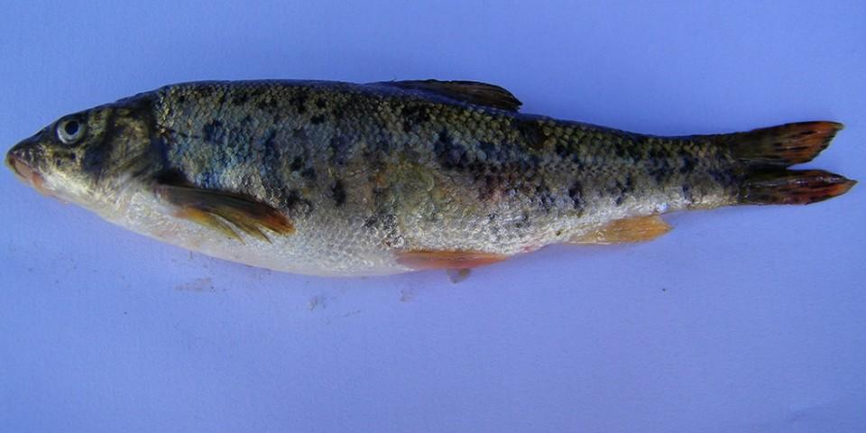 Barbus prespensis