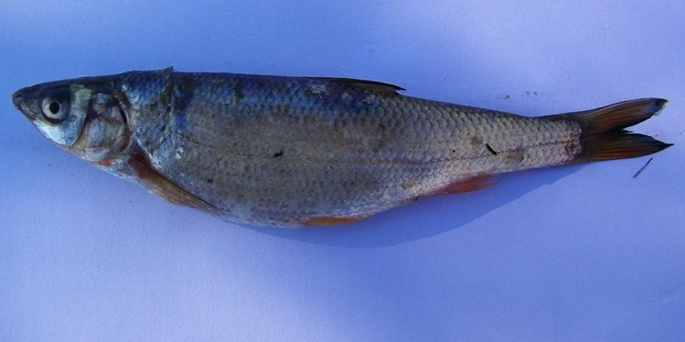 Chondrostoma prespensis